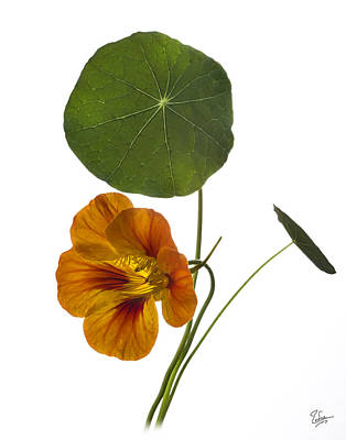 Photograph - Nasturtium by Endre Balogh