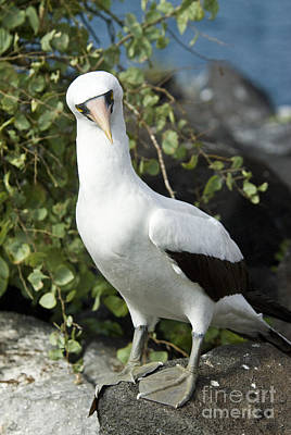 Galapagos Birds Photograph - Nazca Booby by William H. Mullins