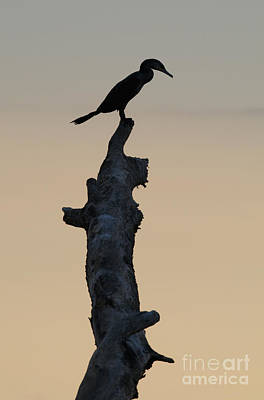 Photograph - Neotropical Cormorant by Dan Suzio