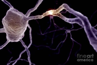 Human Brain Photograph - Neurons by Science Picture Co