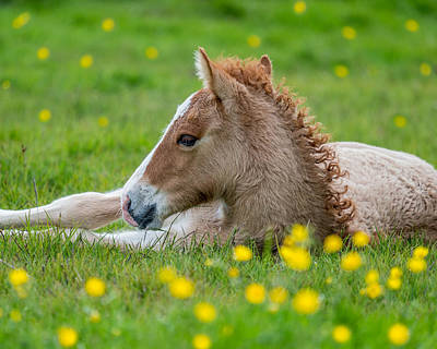 New Born Foal, Iceland Purebred Art Print by Panoramic Images