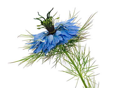 Photograph - Nigella Damascena by Paul Gulliver