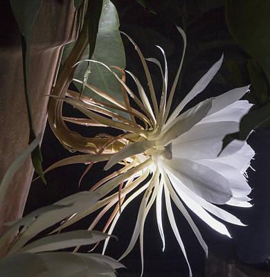 Epiphyllum Oxypetalum Photograph - Night Blooming Cereus by Stuart Wilson