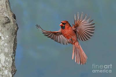 Northern Cardinal Art Print by Anthony Mercieca