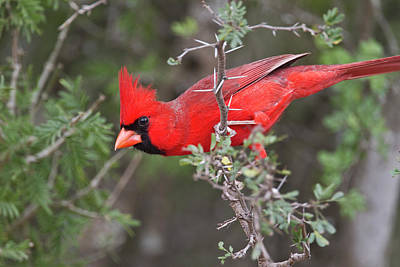 Starr Photograph - Northern Cardinal, Cardinalis by Larry Ditto