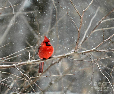 Northern Cardinal Art Print