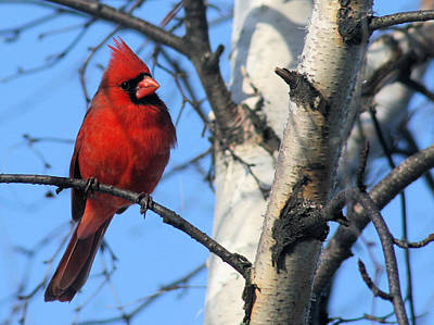 Photograph - Northern Cardinal by Ricky L Jones