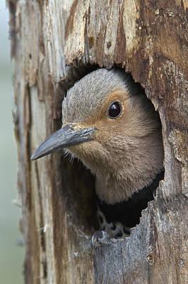 Photograph - Northern Flicker In Nest Cavity Alaska by Michael Quinton