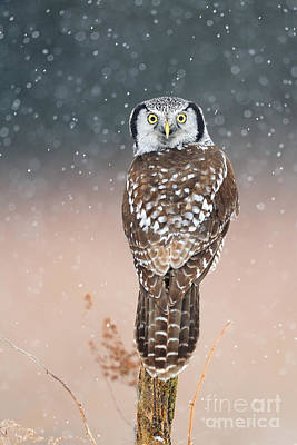 Photograph - Northern Hawk Owl by Scott Linstead