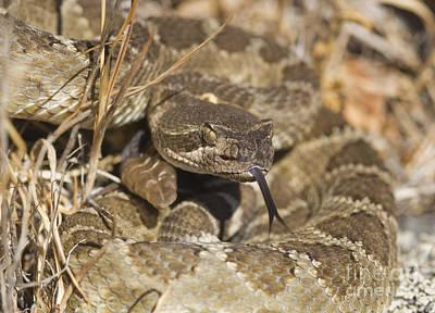 Photograph - Northern Pacific Rattlesnake by Dan Suzio