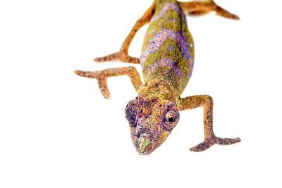 Nose-horned Chameleon Art Print
