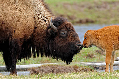 Bison Photograph - Nose To Nose by Sandy Sisti