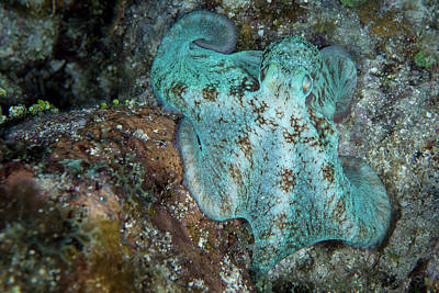 Photograph - Octopus On A Night Dive In Roatan by Brandi Mueller