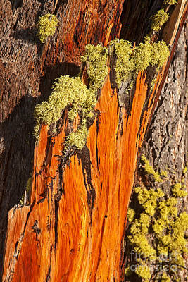 Photograph - Old Mossy Tree Grand Teton National Park by Fred Stearns