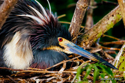 Tri-colored Heron Photograph - On The Nest by Christopher Holmes