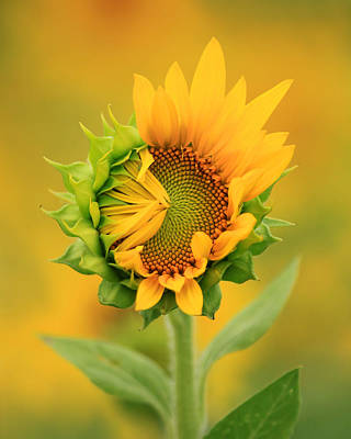 Photograph - Opening Sunflower by Carolyn Derstine