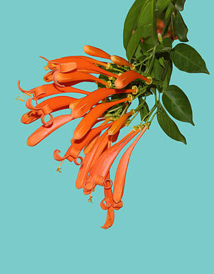 Photograph - Orange Honeysuckle Blossoms by John Orsbun