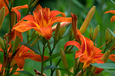Photograph - Orange Lilly by Cathy Shiflett