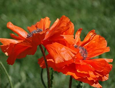 Orange Poppies Art Print