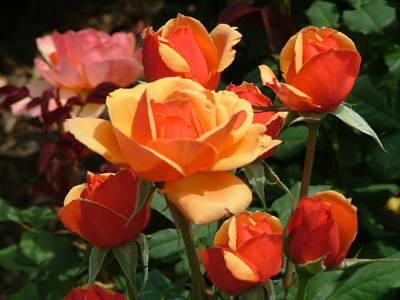 Exquisite And Beautiful Photograph - Orange Roses by Renee Barnes