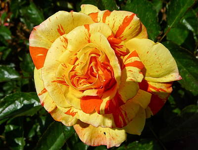 Photograph - Oranges And Lemons Rose by Denise Mazzocco