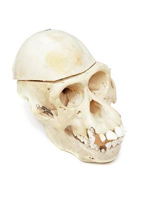 Orangutan Skull Art Print by Ucl, Grant Museum Of Zoology