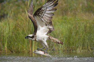 Osprey Catching A Fish Art Print by Science Photo Library