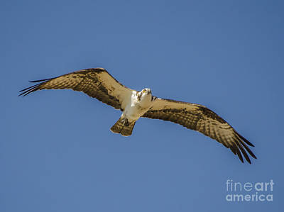 Osprey In Flight Spreading His Wings Art Print by Dale Powell