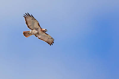 Red Tail Hawks Photograph - Out Of The Blue by Bill Wakeley