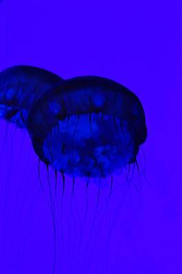 Photograph - Pacific Sea Nettle  by Puzzles Shum