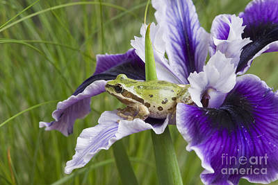 Photograph - Pacific Treefrog On Iris by Dan Suzio
