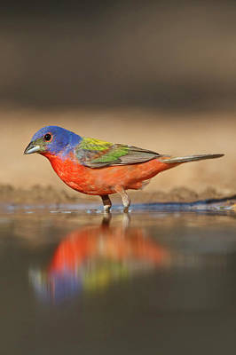 Painted Bunting Photograph - Painted Bunting (passerina Ciris by Larry Ditto