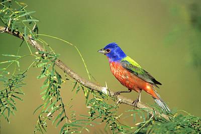 Painted Bunting Photograph - Painted Bunting (passerina Ciris by Richard and Susan Day