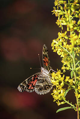 Nickel Yellow Photograph - Painted Lady Butterfly  Cynthia  Feeds by Robert L. Potts