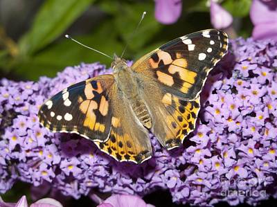 Buddleia Photograph - Painted Lady Butterfly Feeding by Power and Syred
