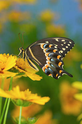Blue Swallowtail Photograph - Palmates Swallowtail Butterfly by Darrell Gulin