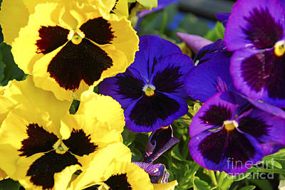Violet Photograph - Pansies by Elena Elisseeva