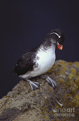 Auklets Photograph - Parakeet Auklet by Art Wolfe