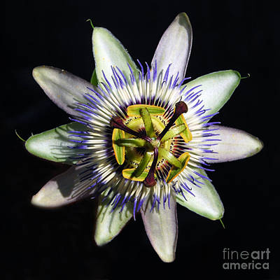 Passion Flower  Print by Debra Thompson