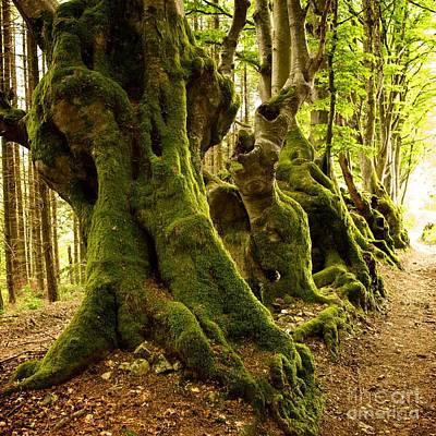 Path Lined Whit Old Beeches. Allier. Auvergne. France Art Print by Bernard Jaubert
