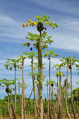 Pawpaw (papaya) Plantation, Lower Art Print by David Wall