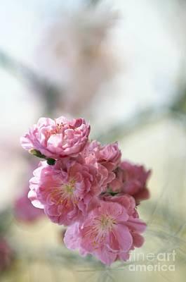 Peach Prunus Persica Art Print