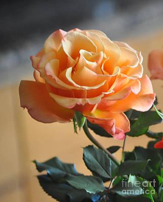 Peach And Cream Rose Art Print