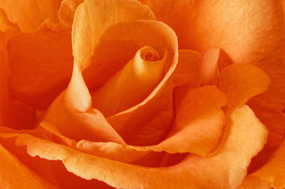 Photograph - Peach Rose by Peter Lakomy