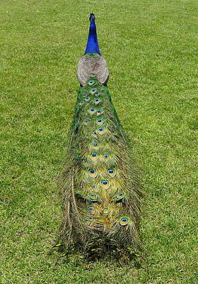 Photograph - Peacock by Denise Mazzocco
