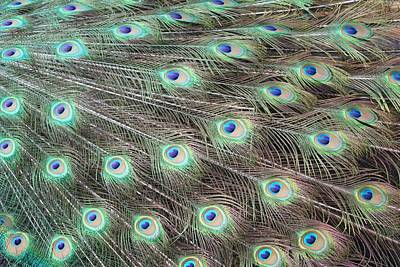 Photograph - Peacock Feather Fiesta  by Diane Alexander