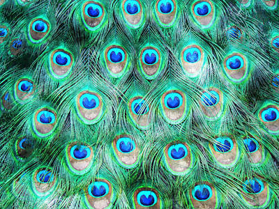 Peacock Poster Painting - Peacock by MotionAge Designs