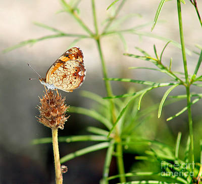 Pearl Crescent Photograph - Pearl Crescent Butterfly  by Karen Adams