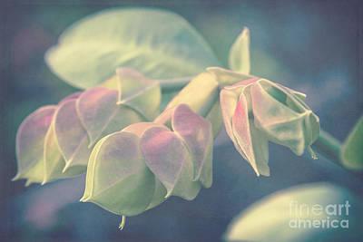 Photograph - Pedilanthus Bracteatus Euphorbiaceae - Slipper Plant by Sharon Mau