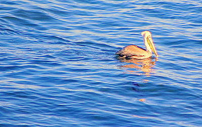 Photograph - Pelican Blue by AJ  Schibig